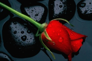 redrose on black rock